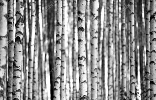 Birch trees in black and white
