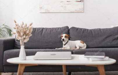 jack russell terrier on grey couch near coffee table with laptop in modern living room