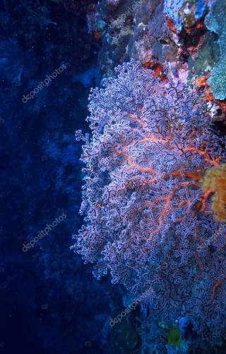 gorgonian large branching coral on the reef / seascape underwater life in the ocean