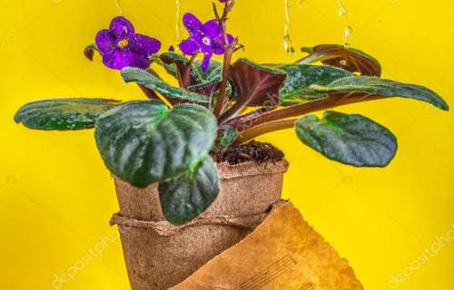 violets in pot yellow background printed sheet music still life